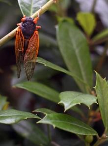 Brood XIX Cicada | abbyolena.com